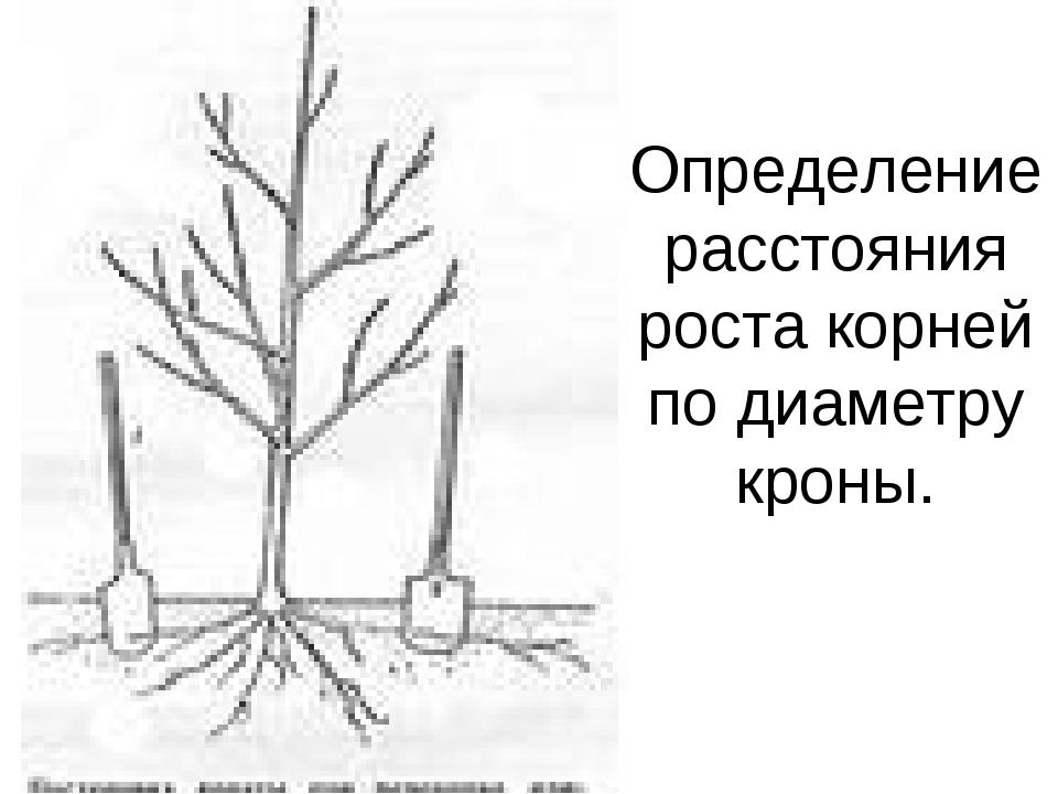 Определение расстояния роста корней по диаметру кроны.