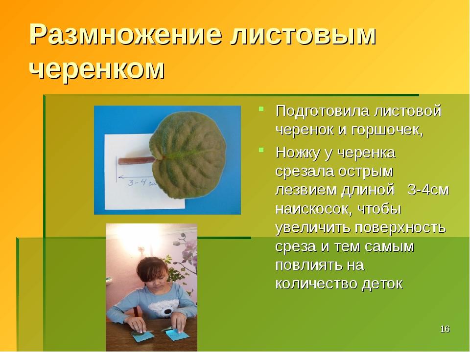 Размножение листовым черенком Подготовила листовой черенок и горшочек, Ножку...