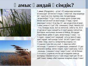 Қамыс қандай өсімдік? Қамыс(Phragmіtes) – астық тұқымдасына жататын көпжылды