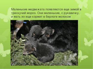 Маленькие медвежата появляются еще зимой в трескучий мороз. Они маленькие, с