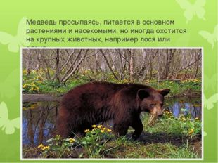 Медведь просыпаясь, питается в основном растениями и насекомыми, но иногда ох