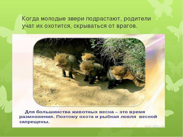 Когда молодые звери подрастают, родители учат их охотится, скрываться от враг...