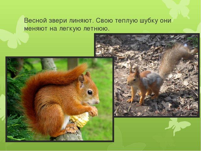 Весной звери линяют. Свою теплую шубку они меняют на легкую летнюю.
