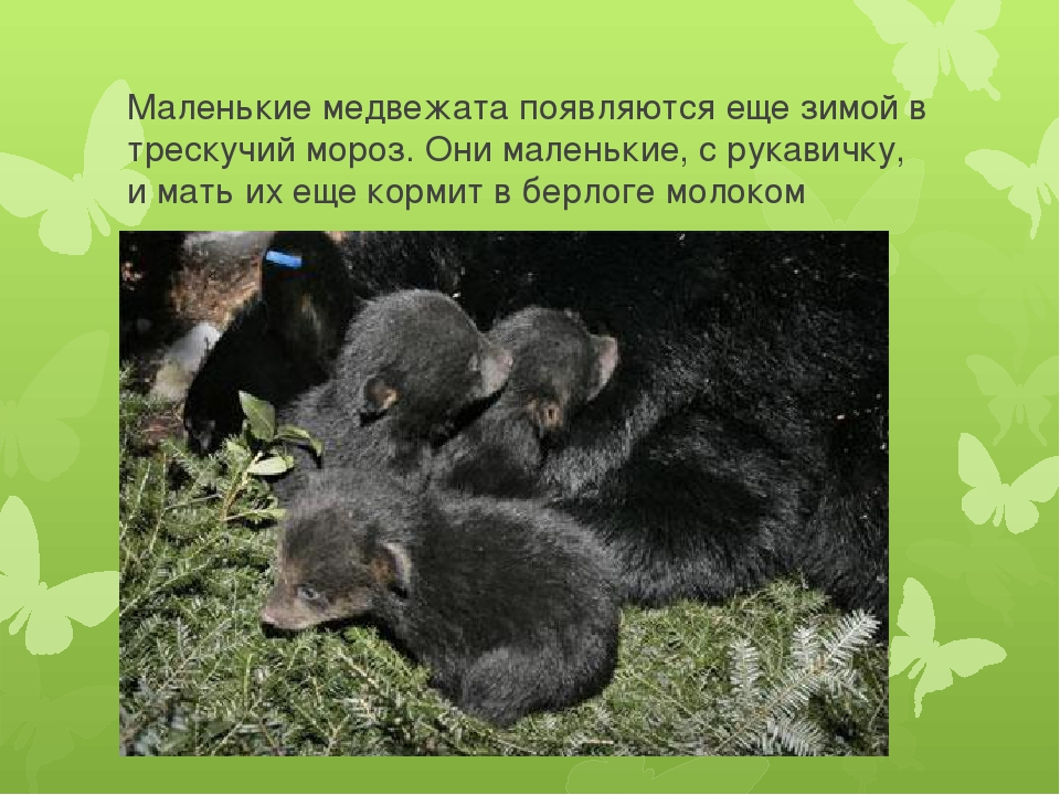 Маленькие медвежата появляются еще зимой в трескучий мороз. Они маленькие, с...