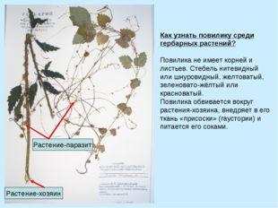Как узнать повилику среди гербарных растений? Повилика не имеет корней и лис