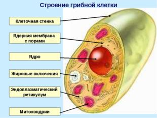 Клеточная стенка Ядро Ядерная мембрана с порами Эндоплазматический ретикулум