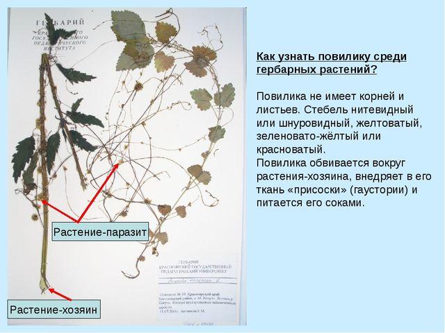 Как узнать повилику среди гербарных растений? Повилика не имеет корней и лис...