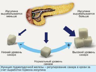 Функция поджелудочной железы – регулирование сахара в крови за счет выработки