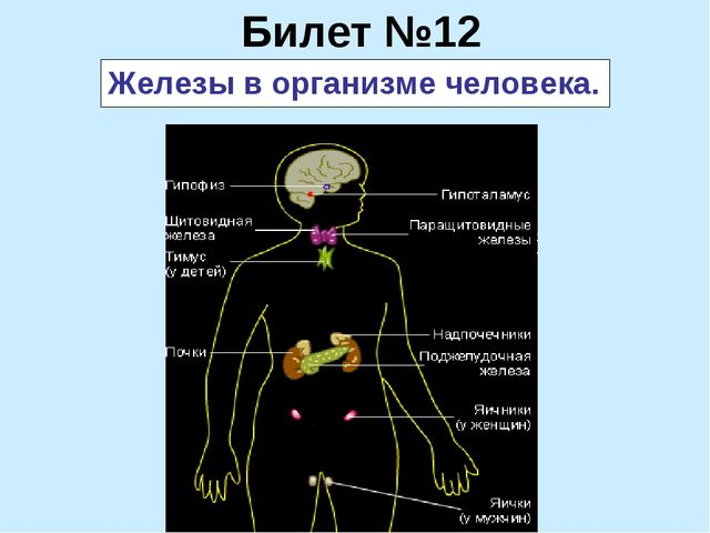 Билет №12 Железы в организме человека.