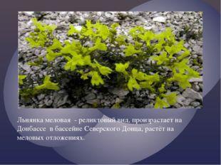 Льнянка меловая - реликтовый вид, произрастает на Донбассе в бассейне Северск