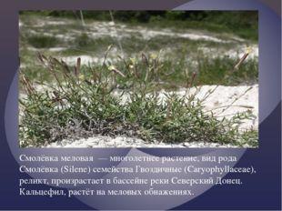Смолёвка меловая — многолетнее растение, вид рода Смолёвка (Silene) семейств