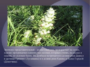 Эремурус представительный – реликтовый вид, произрастает на сухих, хорошо пр