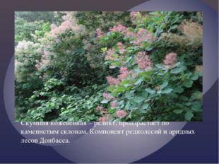 Скумпия кожевенная – реликт, произрастает по каменистым склонам. Компонент ре