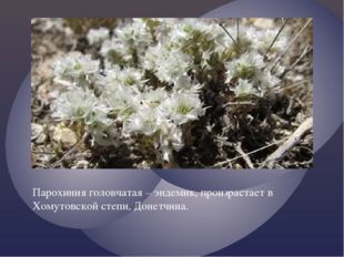 Парохиния головчатая – эндемик, произрастает в Хомутовской степи, Донетчина.