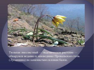 Тюльпан змеелистный — эндемическое растение — обнаружен недавно в заповеднике