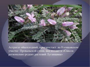 Астрагал яйцеплодный, произростает на Калиновском участке Провальской степи,