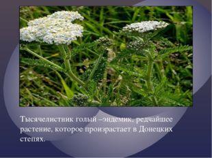 Тысячелистник голый –эндемик, редчайшее растение, которое произрастает в Доне