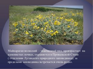 Майкараган волжский - эндемичный вид, произрастает на каменистых почвах, охр