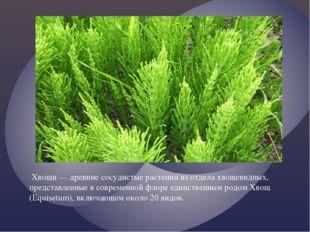 Хвощи — древние сосудистые растения из отдела хвощевидных, представленные в