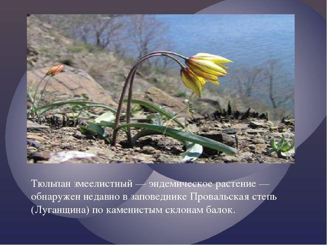 Тюльпан змеелистный — эндемическое растение — обнаружен недавно в заповеднике...