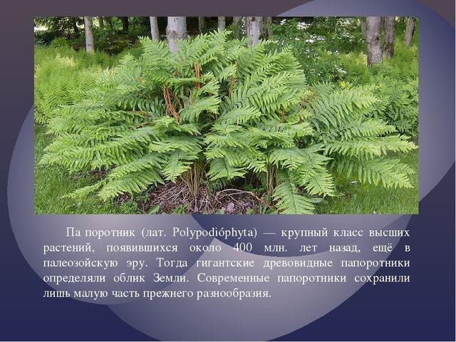 Па́поротник (лат. Polypodióphyta) — крупный класс высших растений, появивших...