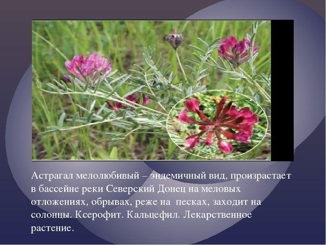 Астрагал мелолюбивый – эндемичный вид, произрастает в бассейне реки Северски...