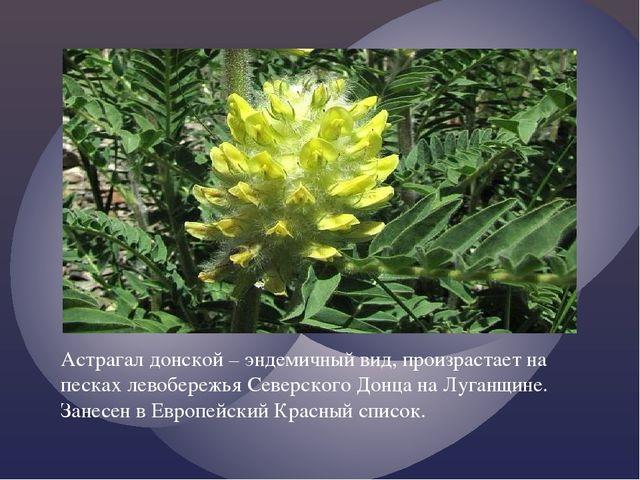 Астрагал донской – эндемичный вид, произрастает на песках левобережья Северск...