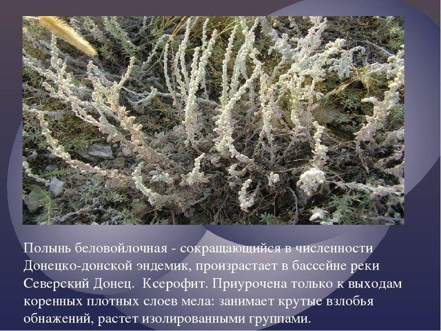 Полынь беловойлочная - сокращающийся в численности Донецко-донской эндемик,...