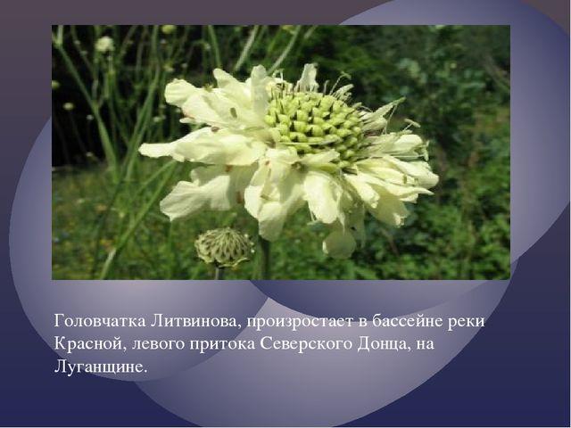 Головчатка Литвинова, произростает в бассейне реки Красной, левого притока Се...