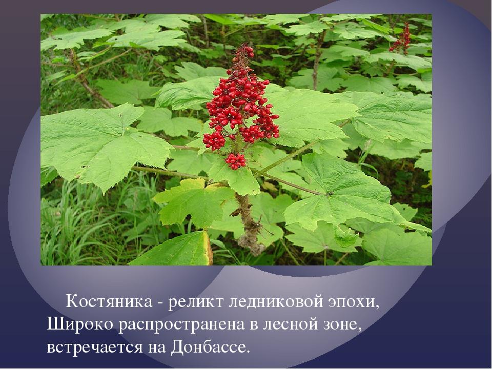 Костяника - реликт ледниковой эпохи, Широко распространена в лесной зоне, вс...
