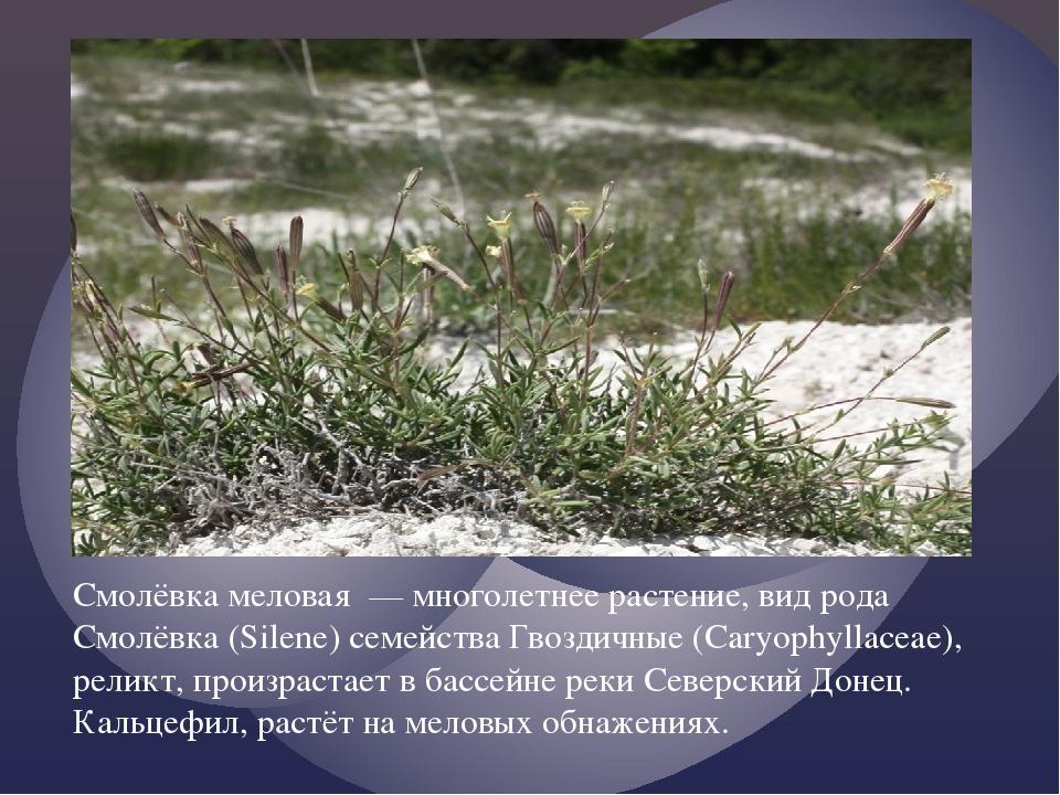 Смолёвка меловая — многолетнее растение, вид рода Смолёвка (Silene) семейств...