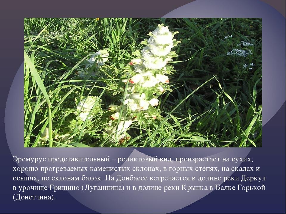 Эремурус представительный – реликтовый вид, произрастает на сухих, хорошо пр...