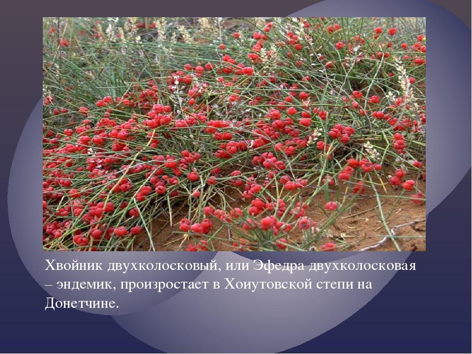 Хвойник двухколосковый, или Эфедра двухколосковая – эндемик, произростает в Х...