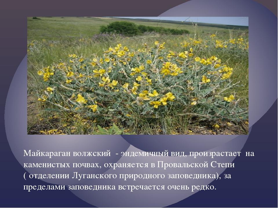 Майкараган волжский - эндемичный вид, произрастает на каменистых почвах, охр...