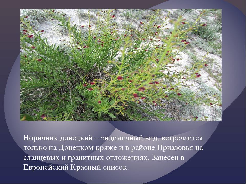 Норичник донецкий – эндемичный вид, встречается только на Донецком кряже и в...