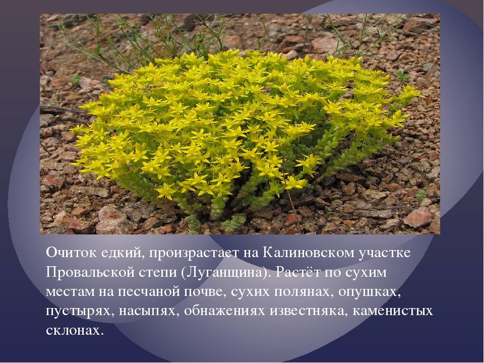 Очиток едкий, произрастает на Калиновском участке Провальской степи (Луганщин...