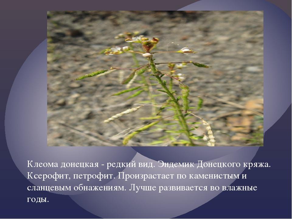 Клеома донецкая - редкий вид. Эндемик Донецкого кряжа. Ксерофит, петрофит. П...