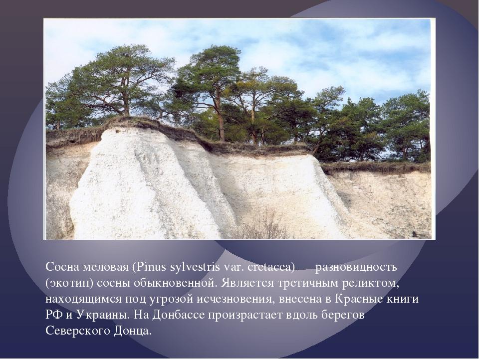 Сосна меловая (Pinus sylvestris var. cretacea) — разновидность (экотип) сосны...