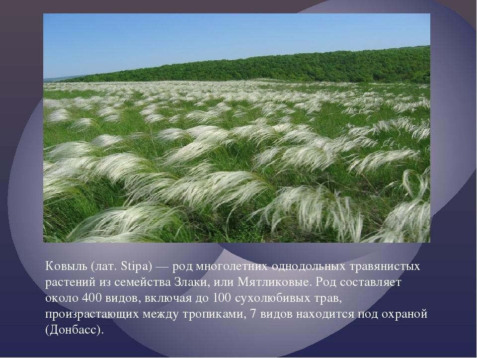Ковыль (лат. Stipa) — род многолетних однодольных травянистых растений из сем...