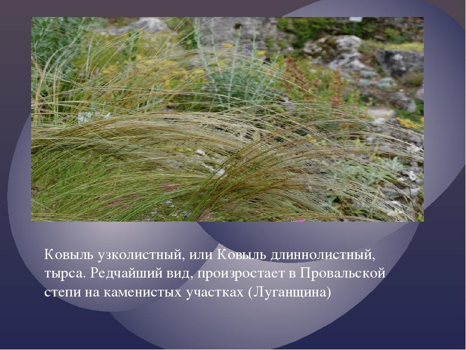 Ковыль узколистный, или Ковыль длиннолистный, тырса. Редчайший вид, произрост...
