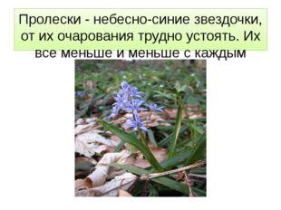 Пролески - небесно-синие звездочки, от их очарования трудно устоять. Их все м