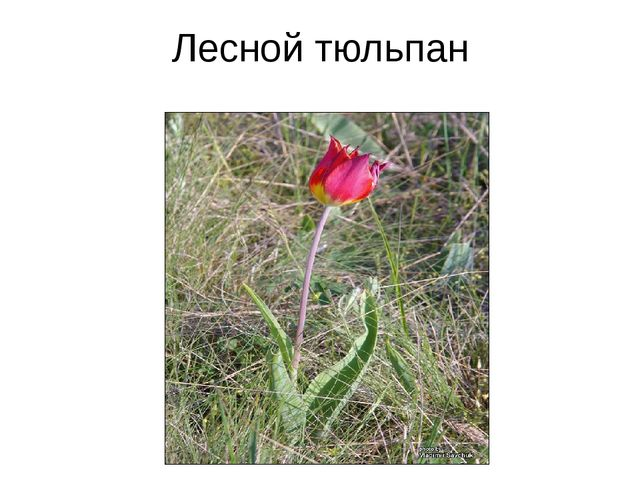Лесной тюльпан