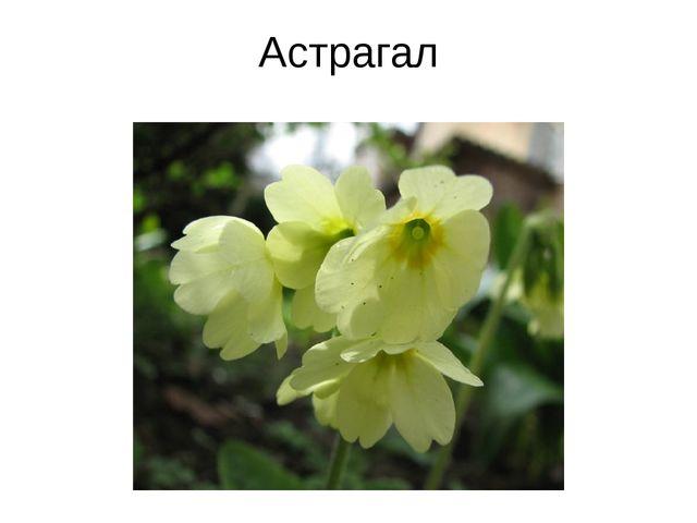 Астрагал