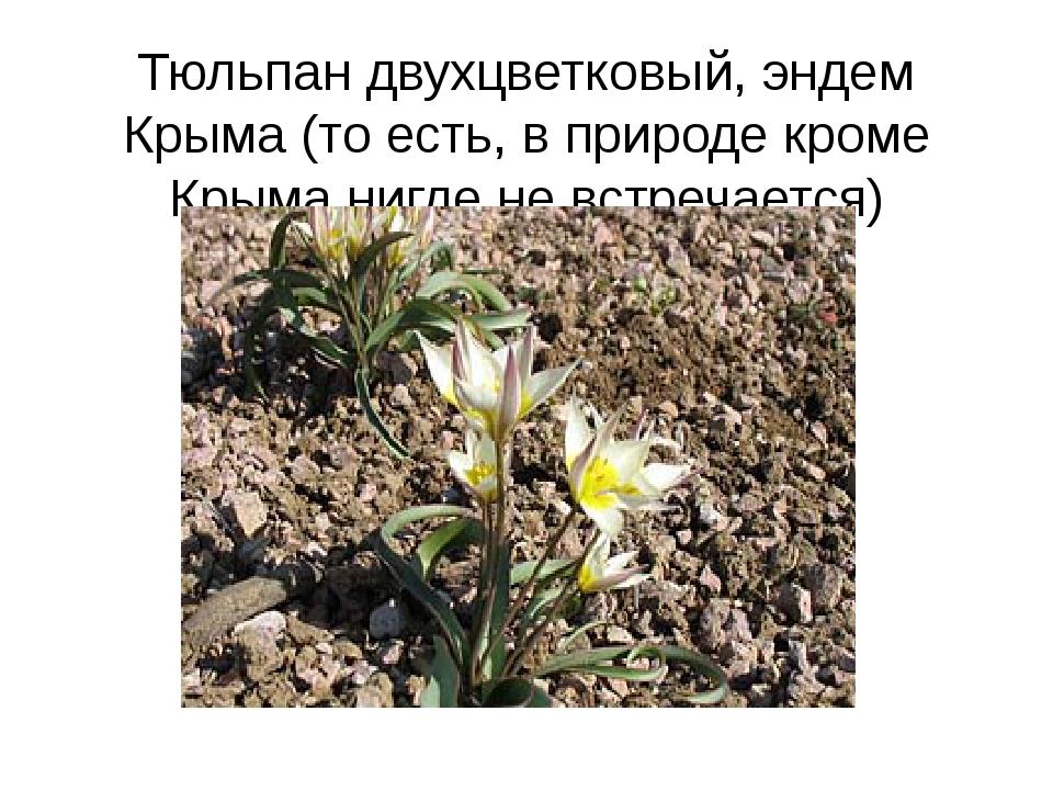 Тюльпан двухцветковый, эндем Крыма (то есть, в природе кроме Крыма нигде не в...