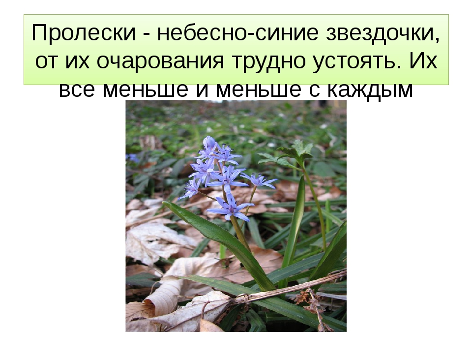 Пролески - небесно-синие звездочки, от их очарования трудно устоять. Их все м...