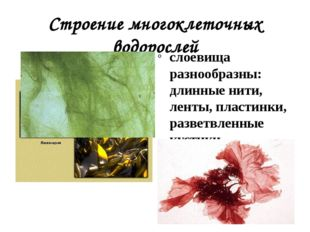 Строение многоклеточных водорослей слоевища разнообразны: длинные нити, ленты