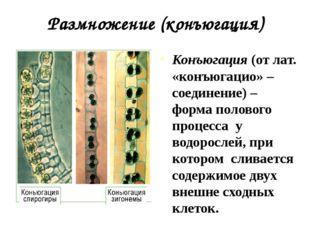 Размножение (конъюгация) Конъюгация (от лат. «конъюгацио» – соединение) – фор