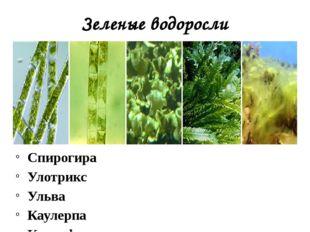 Зеленые водоросли Спирогира Улотрикс Ульва Каулерпа Кладофора