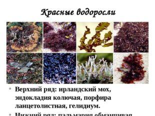 Красные водоросли Верхний ряд: ирландский мох, эндокладия колючая, порфира ла