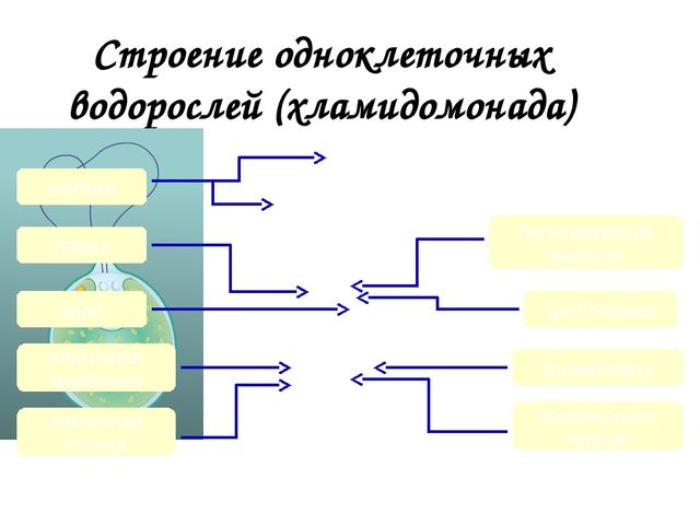 Строение одноклеточных водорослей (хламидомонада) жгутики ядро пульсирующие в...